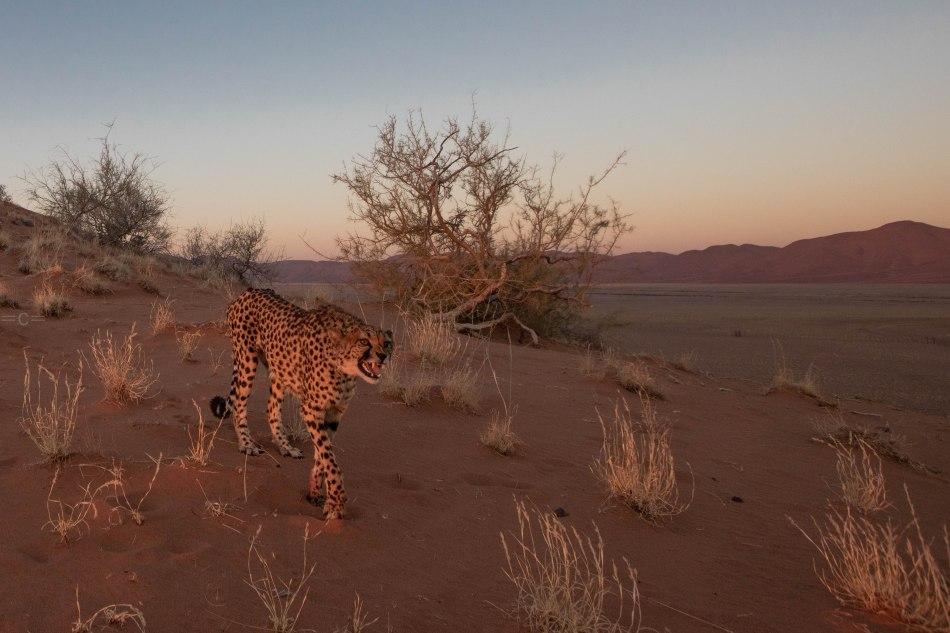 namibia , naankuse, cheetah